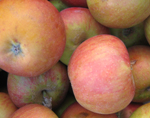 COX ORANGE PIPPIN APPLE (Malus domestica)