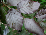 PURPLE BEECH (Fagus sylvatica)