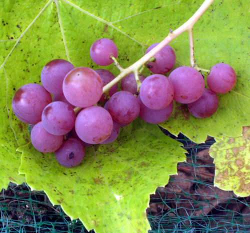 Einset grape vitis spp burnt ridge nursery for Table grapes zone 6