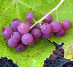 EINSET GRAPE (Vitis spp.)