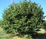 GAMMA HAZELNUT (Corylus avellana)