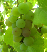 GEWURTZTRAMINER GRAPE (Vitis vinifera)