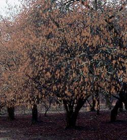 Nut Trees | Burnt Ridge Nursery & Orchards