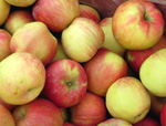 HONEYCRISP APPLE (Malus domestica)