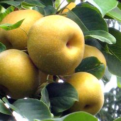 Asian Pear Trees