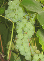INTERLAKEN GRAPE (Vitis spp.)