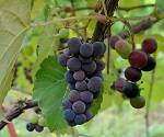 ISLAND BELLE GRAPE (Campbell's Early) (Vitis labrusca)