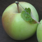 LODI APPLE (Malus domestica)