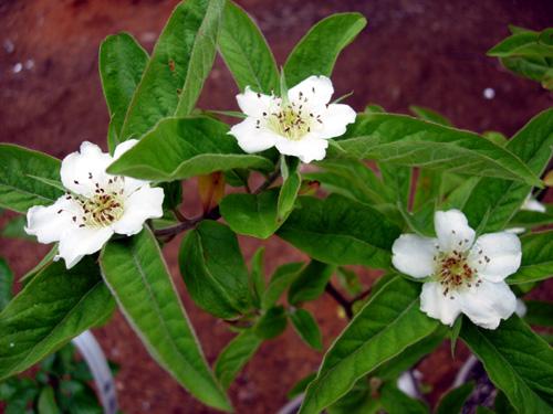 Konu: bahar dalları - baharı ve meyveyi müjdeleyen çiçekler