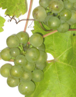 MULLER THURGEAU GRAPE (Vitis vinifera)