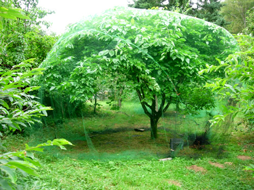 Illinois Everbearing Mulberry Morus Alba X Rubra