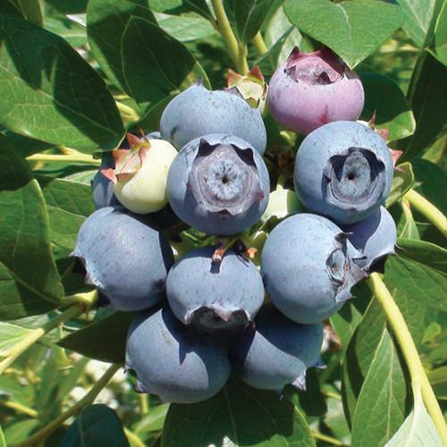 Star Blueberry Plants   Burnt Ridge Nursery & Orchards-Burnt
