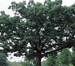 EASTERN WHITE OAK (Quercus alba)