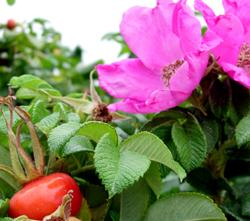 Fruiting Bushes Burnt Ridge Nursery Orchards
