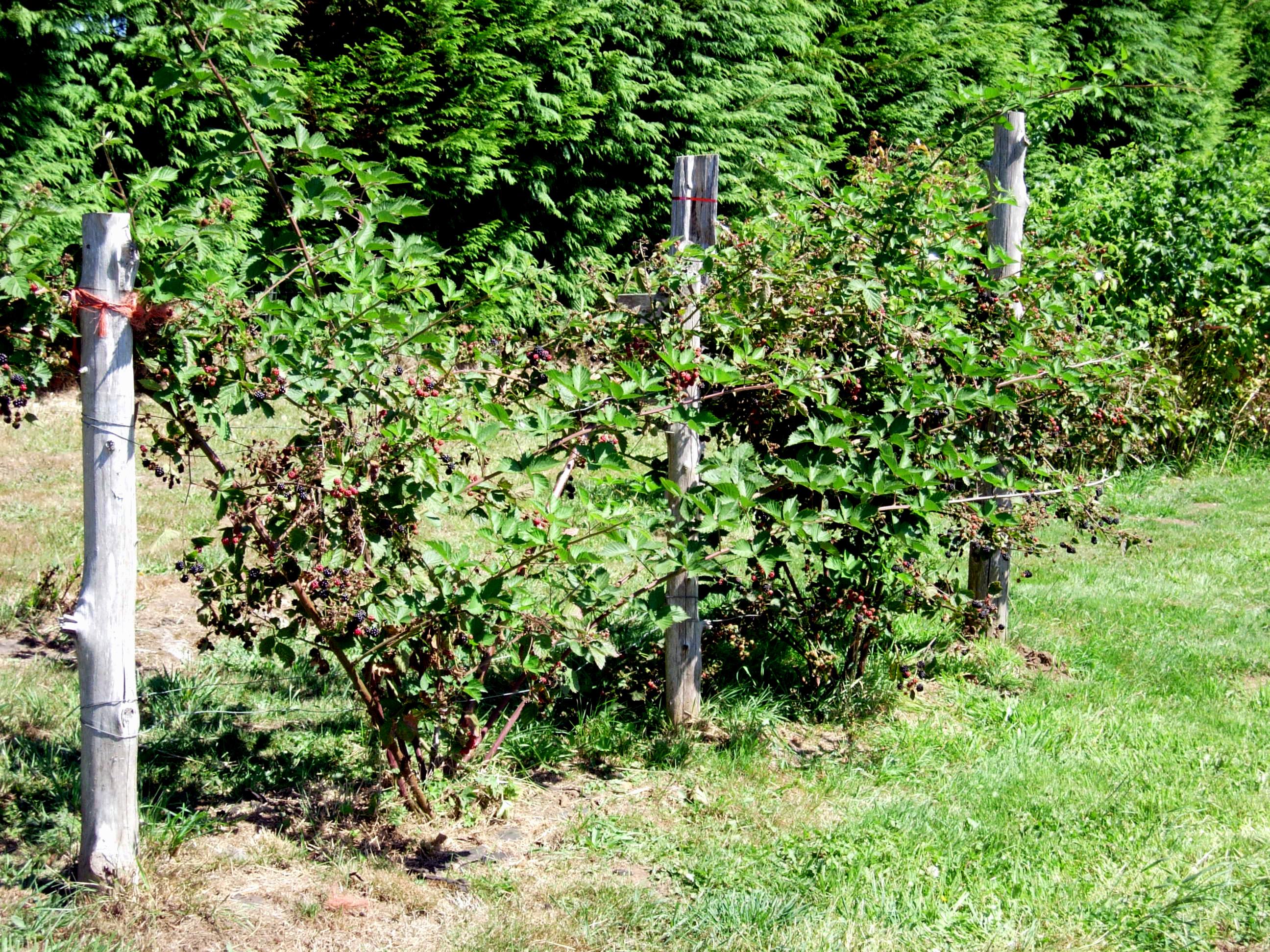Triple Crown Thornless Blackberry Burnt Ridge Nursery Burnt