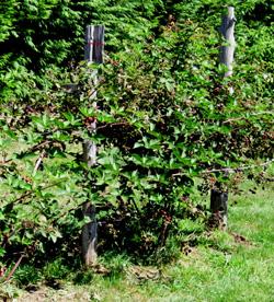 how to start blackberry plants
